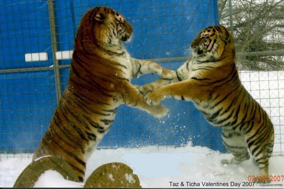 taz-ticha-tigers-6