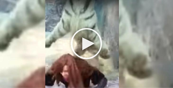 tigre-zoo-japon-video-virale-9