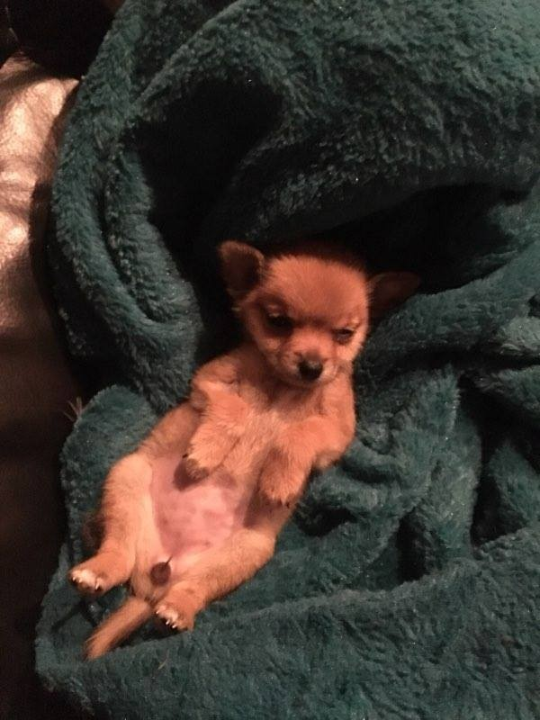 chicky_nugget_adoption_3