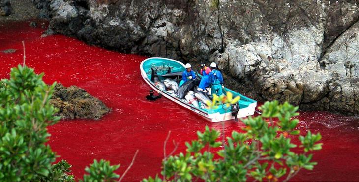 japon-taiji-dauphins-massacre-1