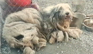 sheepdog_rescue_quebec_2