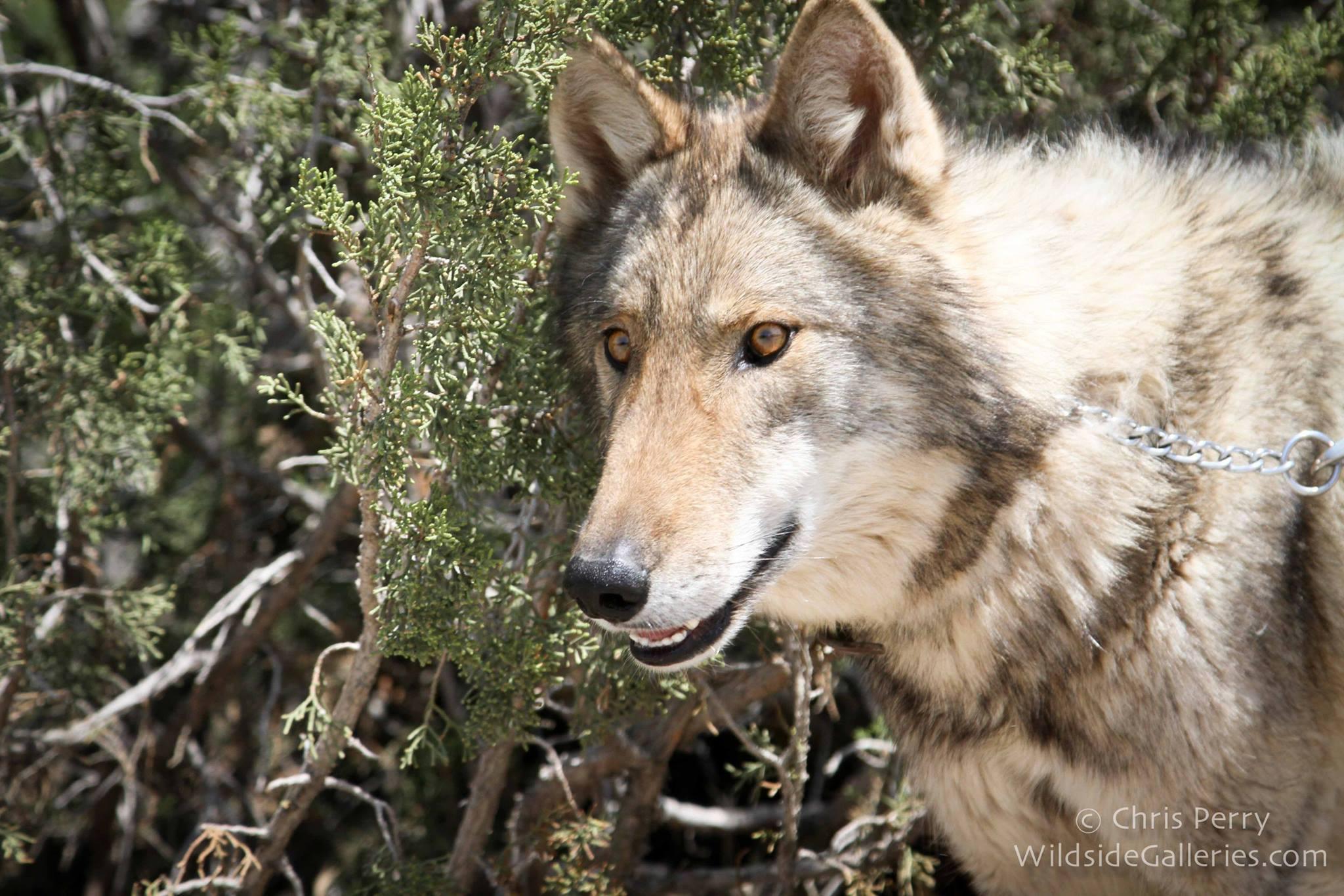 wolf-neo-student-3