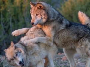 wolves_koda_chance_2