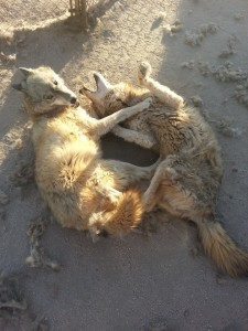 wolves_koda_chance_4