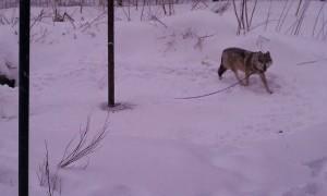 wolves_koda_chance_5