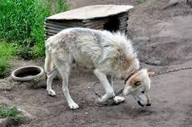 wolves_koda_chance_7