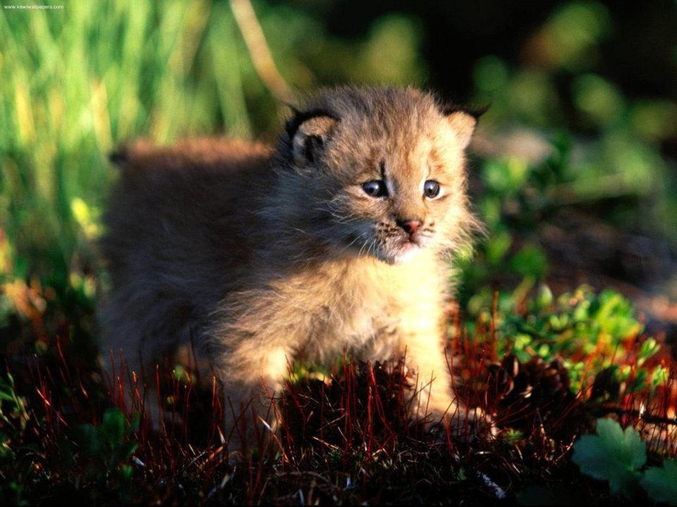 bobcat-hunting-cause-2