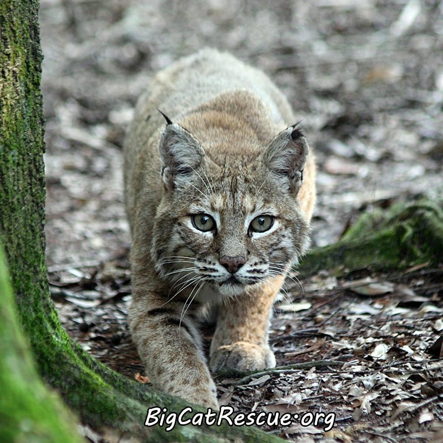 bobcat-hunting-cause-3