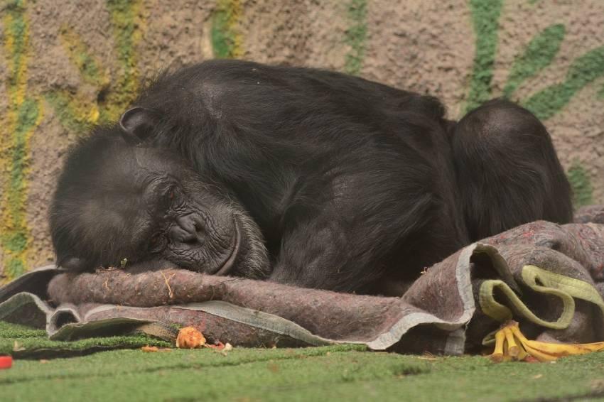 chimp-cecilia-zoo-1