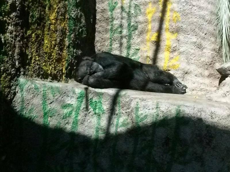 chimp-cecilia-zoo-2