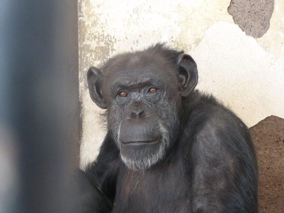 chimp-cecilia-zoo-4