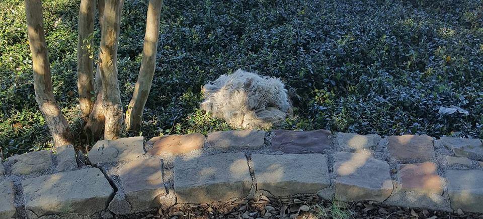 dog-livvy-rescue-texas-1