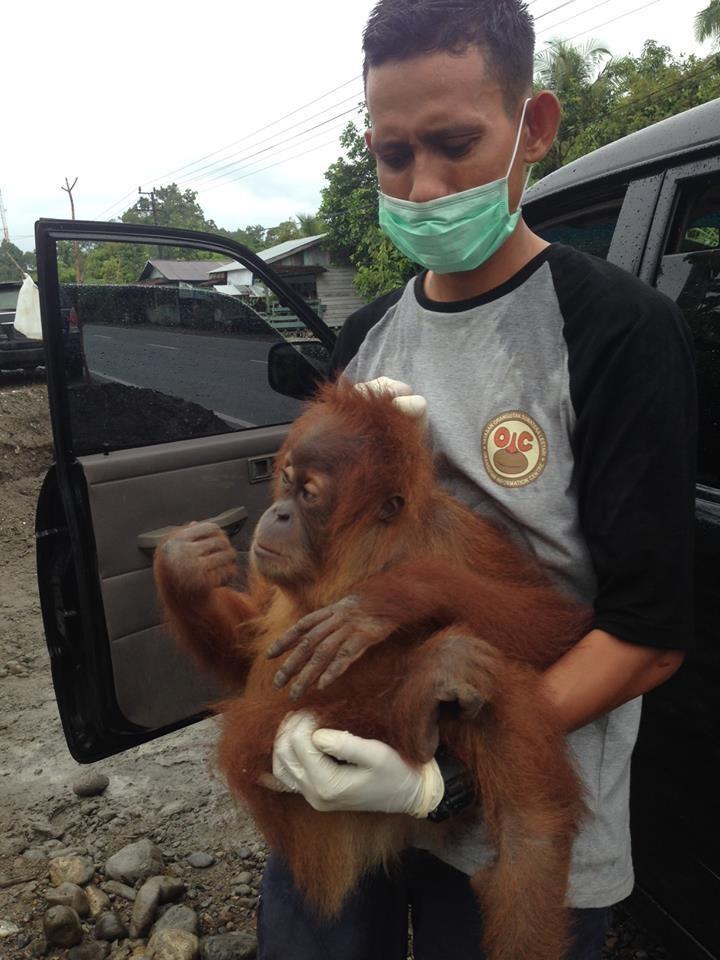 orangutan_mingky_rescue_1
