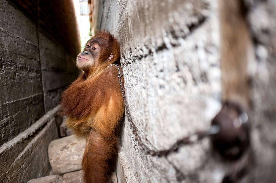 orangutan_mingky_rescue_2