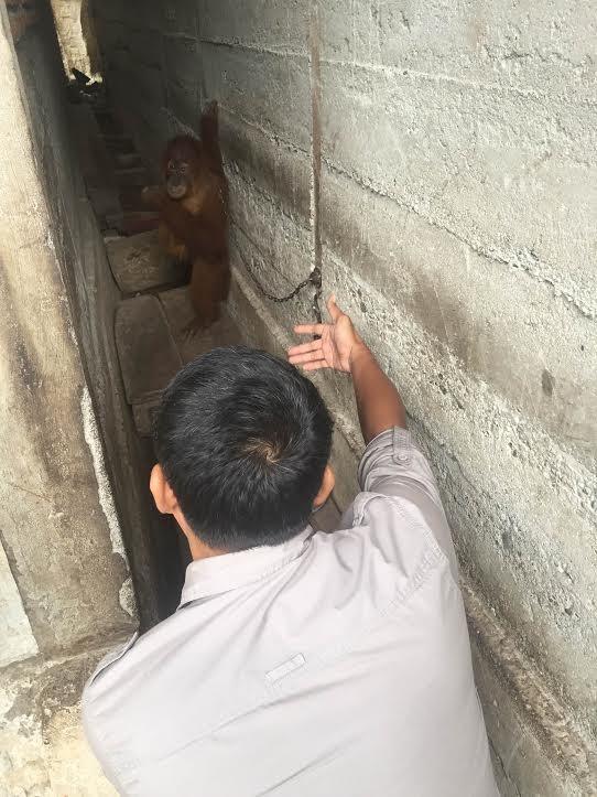 orangutan_mingky_rescue_3