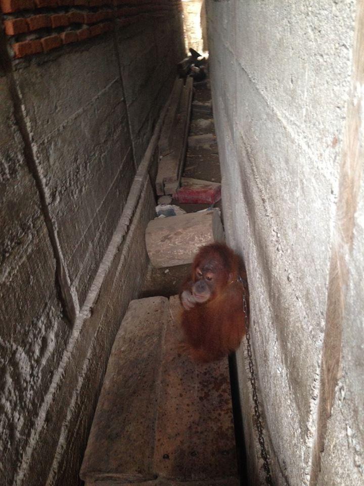 orangutan_mingky_rescue_4