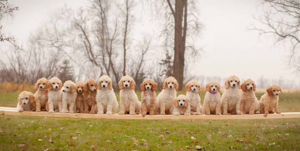 poodles_world_record_litter_1