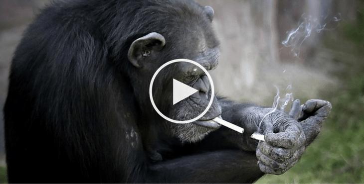zoo-coree-du-nord-chimpanzee-cigarette-19