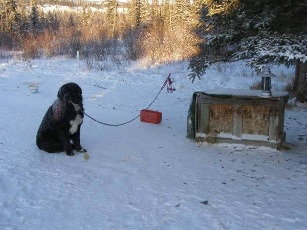 dog_diesel_chained_rescue_4