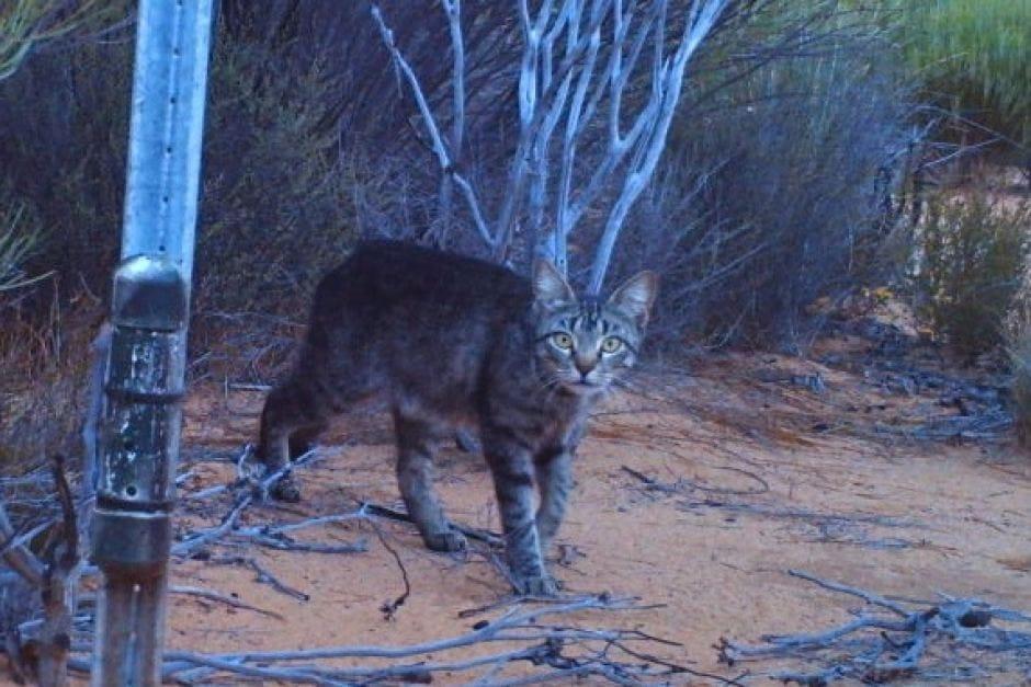 australia-cat-killing-2