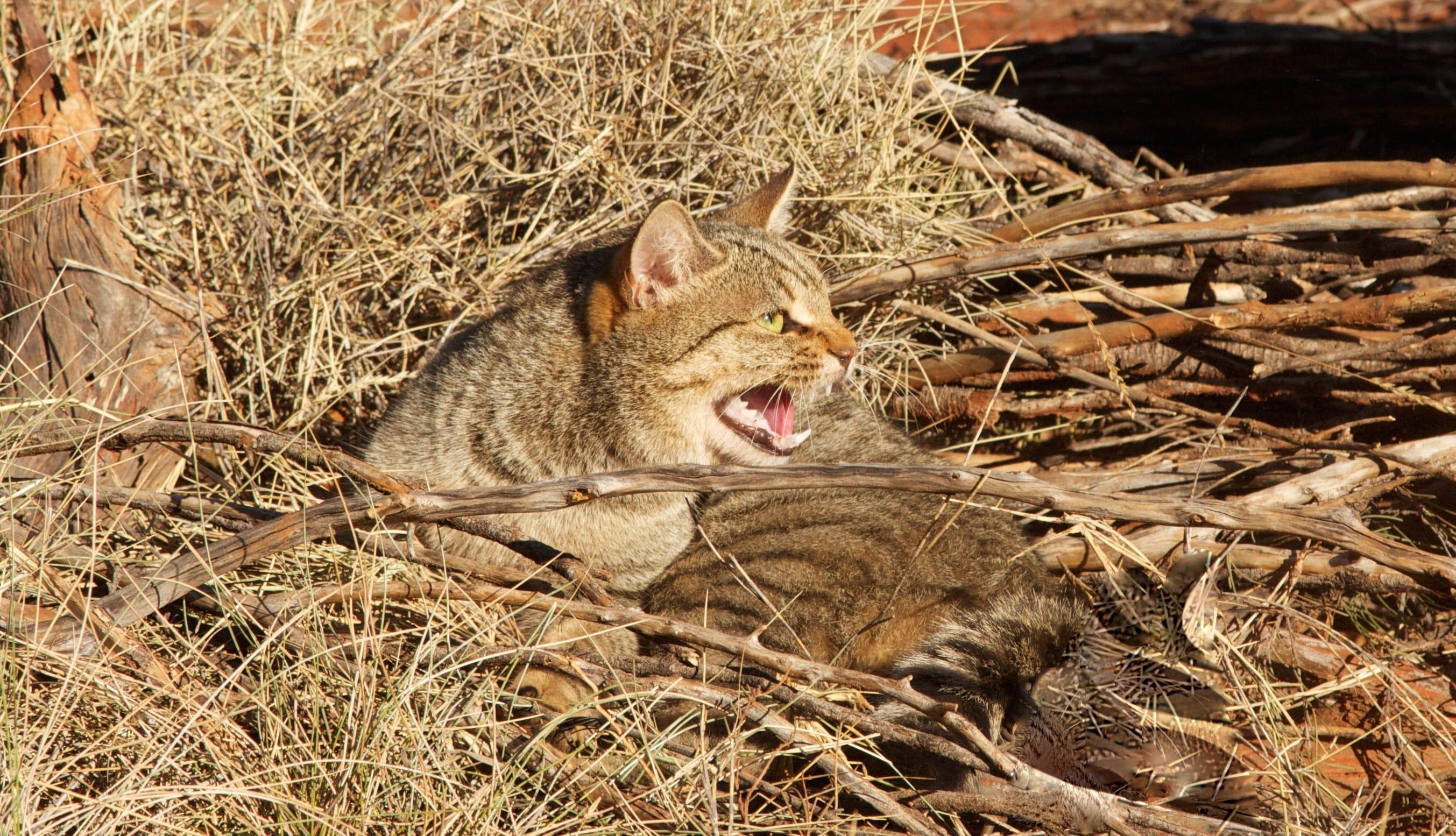 cat-killing-australia