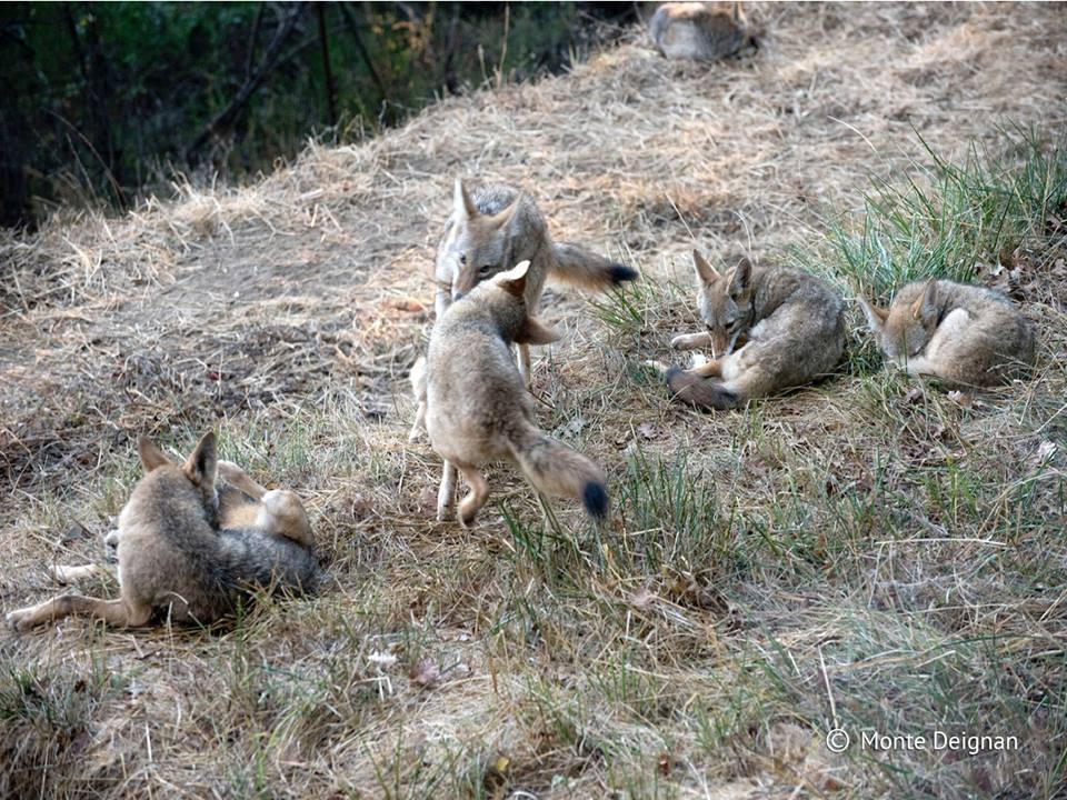 coyotes_wyoming_contest_1