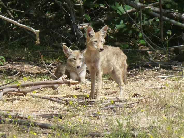 coyotes_wyoming_contest_3