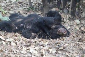 bear-cub-poachers-1