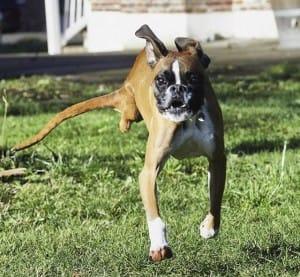dog-duncan-2legs-5