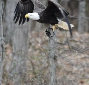 eagle-trap-iowa-1
