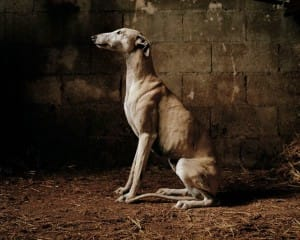 greyhounds-photoshoot-spain-1
