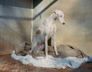 greyhounds-photoshoot-spain-5