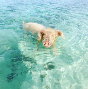 pigs-beach-bahamas-5