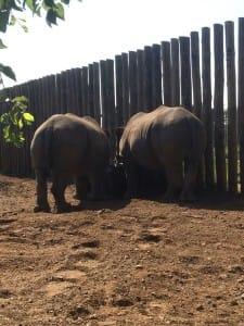 rhino-attack-thulathula-1