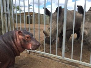 Charlie the hippo meeting the rhinos