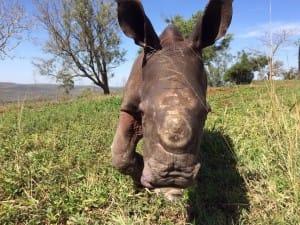 rhino-attack-thulathula-4