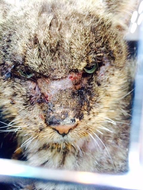 valentino_cat_mange_rescue_1