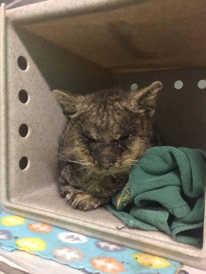 valentino_cat_mange_rescue_3