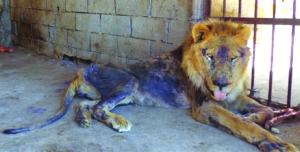 yemen-zoo-taiz-starvation-animals-15