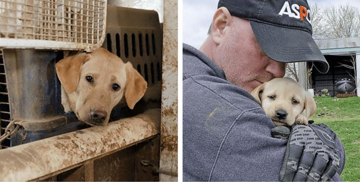 aspca-rescues-50-labradors-cover