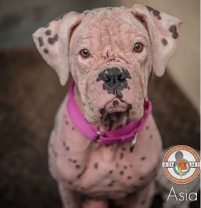 dog-asia-pink-1
