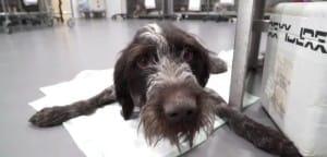 dog-khan-paralyzed-3