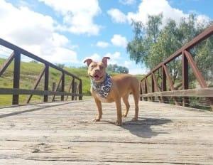 dog-malibu-pitbull-1
