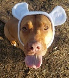 dog-malibu-pitbull-2