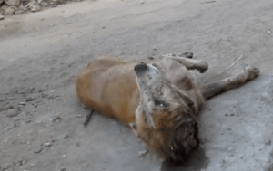 dog-rescue-india-major-sahib (10)