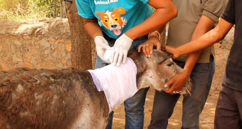 donkey-animalaid-pit-6