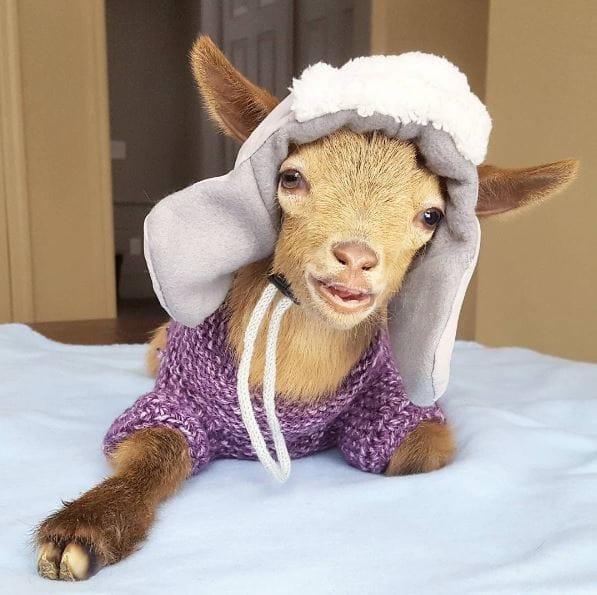 goat-lawson-baby-1