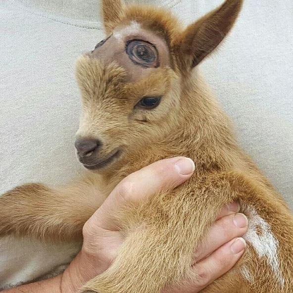 goat-lawson-baby-10