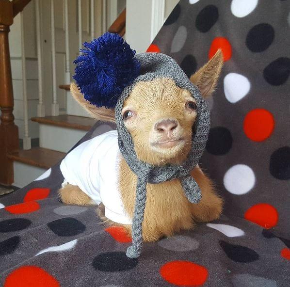 goat-lawson-baby-3