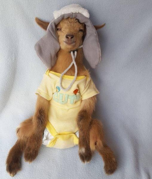 goat-lawson-baby-5